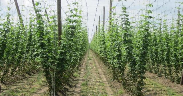 Objectif cultiver de l'orge et du houblon sur le territoire : la Région veut développer une filière brassicole