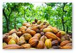 Récolte des fèves de cacao
