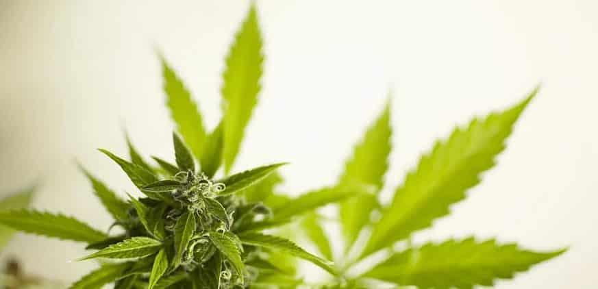 cannabis-legalisation-legal-illegal