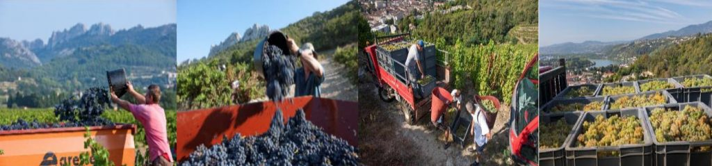 Production en hausse de 5% : les Côtes-du-Rhône à contre-courant