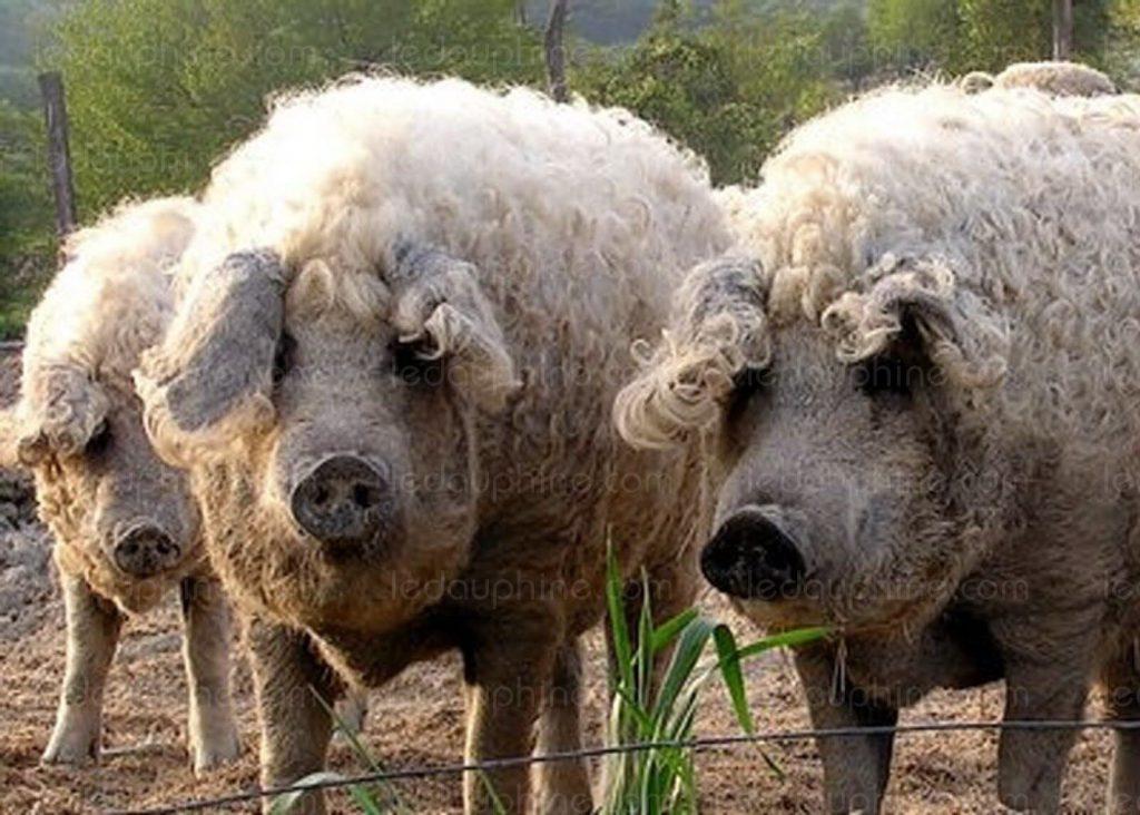 L'Ardèche a désormais sa «pata negra», le cochon mangalica, la Rolls du jambon